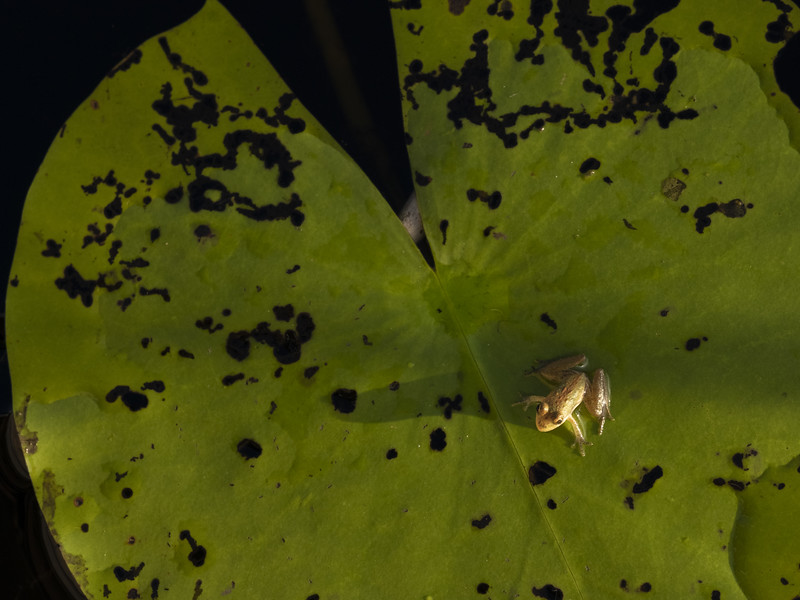 Cricket Frog on a Lily Pad