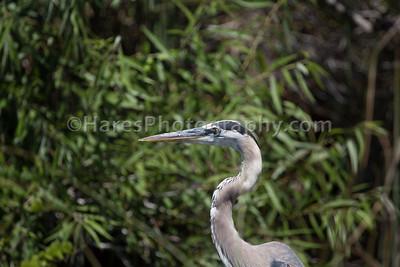 Everglades-8853