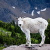 Mountain goats along the Hidden Lake Nature Trail