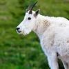 Mountain goats along the Hidden Lake Nature Trail