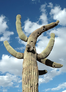 Suguaro cactus outside Tucson, Arizona. This is probably several hundred years old, and it is illegal to remove such flora without city permission. Actually it reminds me a bit of the statue created by Okamoto Taro for the 1970 Osaka Expo.