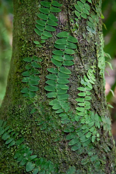 Ferns, the Caribbean National Forest of El Yunque