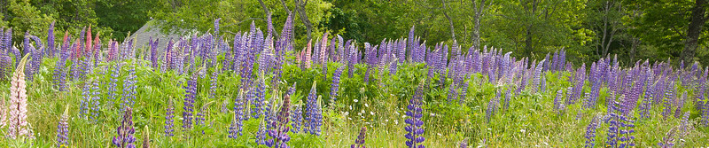 Lupines in Somesville, Mt. Desert Island, Maine