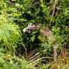 Iguana in the treetops.