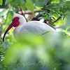 My First Sight Of An Adult White Ibis View 1