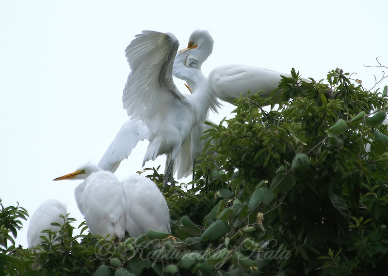 Feeding Great Egret Fledglings Is Violent 2 of 14