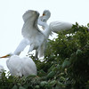 Feeding Great Egret Fledglings Is Violent 2 of 15