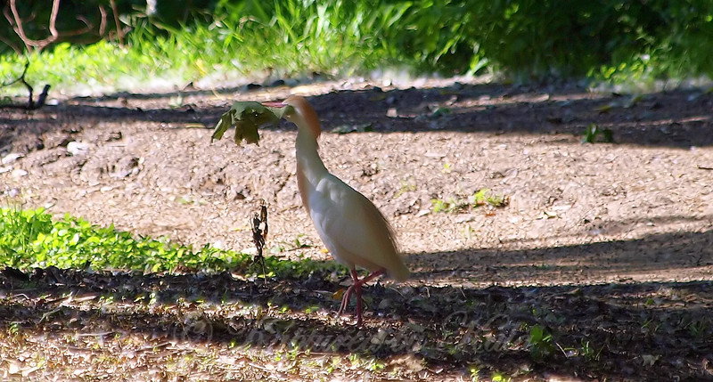 Cattle Egret With Greenery For Nest