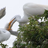 Feeding Great Egret Fledglings Is Violent 5 of 15