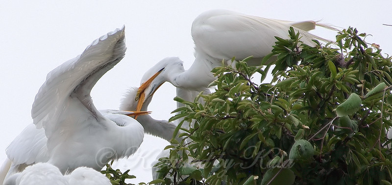 Feeding Great Egret Fledglings Is Violent 5 of 14