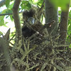 Night Heron Nestlings