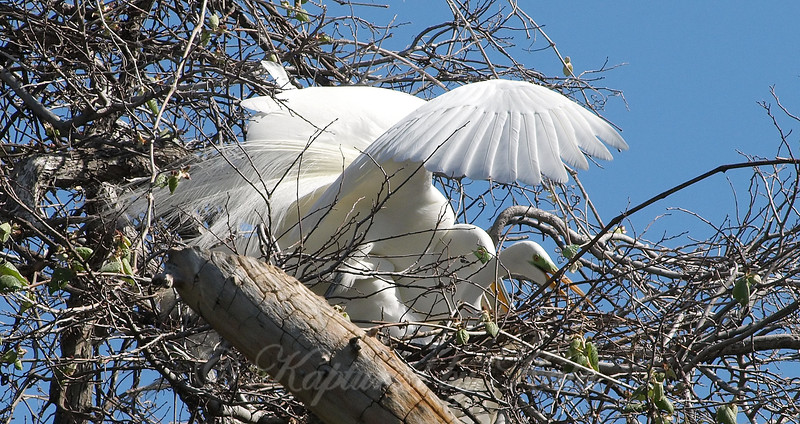 Great Egret Mating Behavior Part 3 of 7