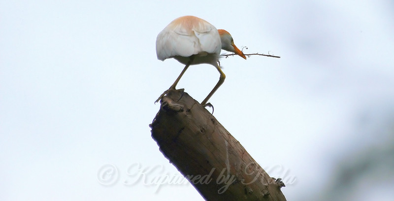 Cattle Egret With Stick For Nest