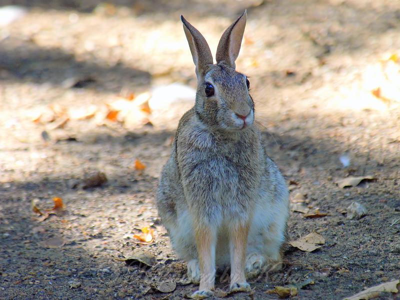 Rookery Rabbit