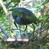 Little Blue Heron Looking At Hatchlings