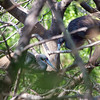 Tricolor Heron Courtship Part 1