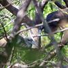 Tricolor Heron Courtship Part 1