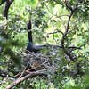 Male Anhinga Brooding