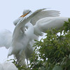 Feeding Great Egret Fledglings Is Violent 3 of 14