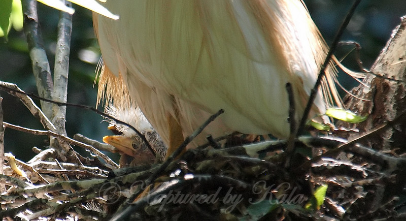 Cattle Egret Babies