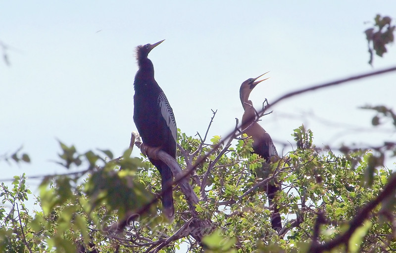 A Pair Of Anhingas