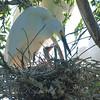 Snowy Egret Nestling