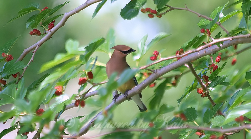 Cedar Waxwing At The Rookery
