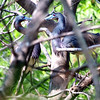 Tricolor Heron Courtship Part 3