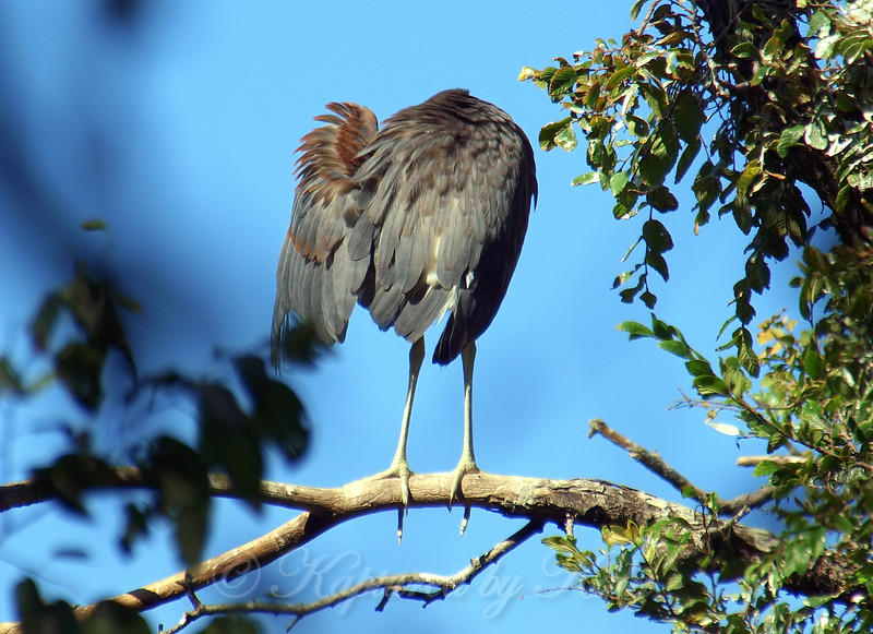 Headless Tricolored Heron