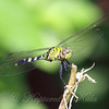 Young Male Pondhawk View 2