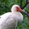 Adult Breeding White Ibis