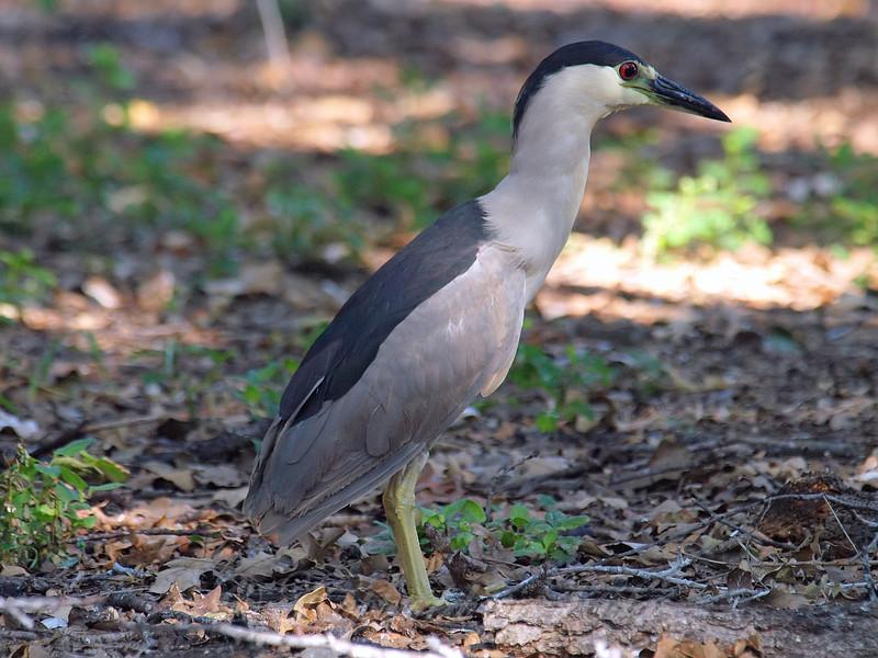 Black-crowned Night Heron Blocking The Path
