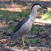 Black-crowned Night Heron Blocking The Path