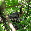 Female Anhinga Brooding