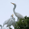Feeding Great Egret Fledglings Is Violent 1 of 14