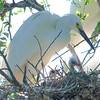 Two Snowy Egret Nestlings