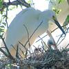 Two Snowy Egret Nestlings