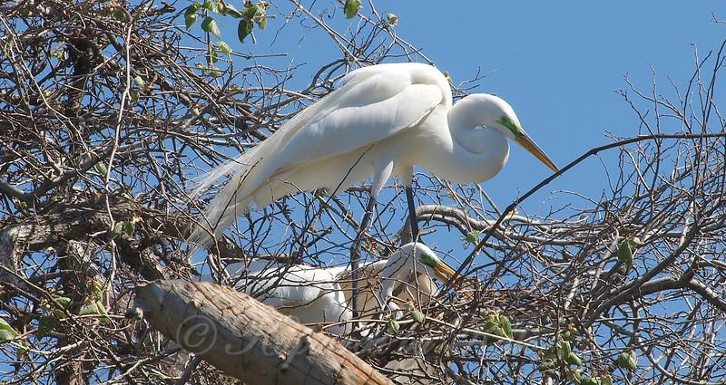 Great Egret Mating Behavior Part 5 of 7