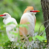 Cattle Egret Pair B