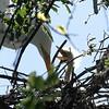 Great Egret Hatchling