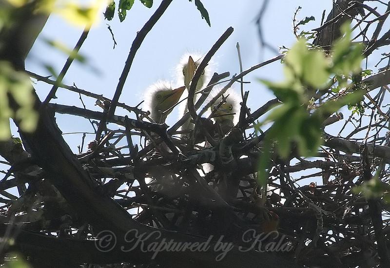 Three Great Egret Hatchlings