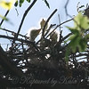 Three Great Egret Hatchlings