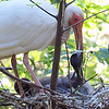 Baby Ibis Trying To Open Parent's Bill