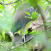 Tricolor Heron Nestlings