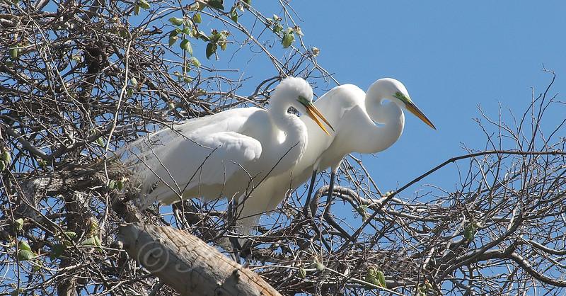Great Egret Mating Behavior Part 7 of 7
