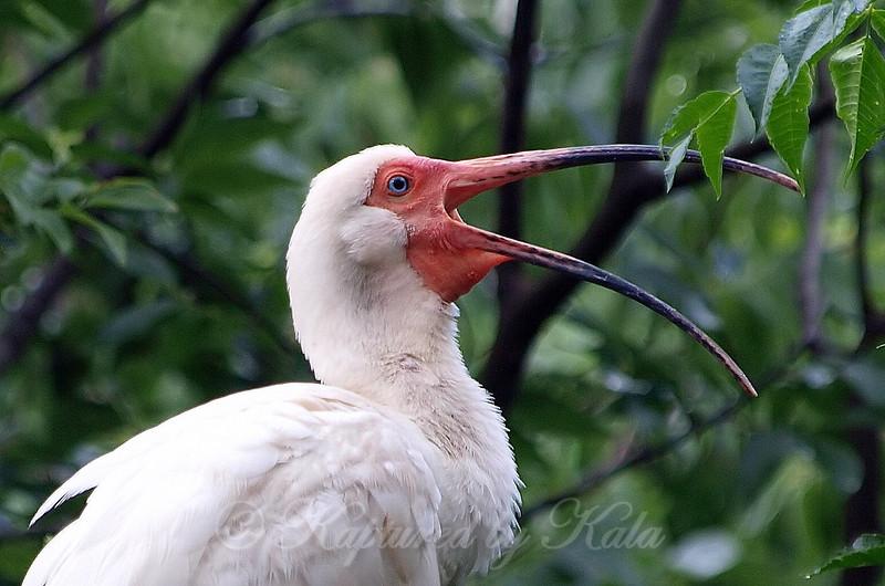 White Ibis Yawning