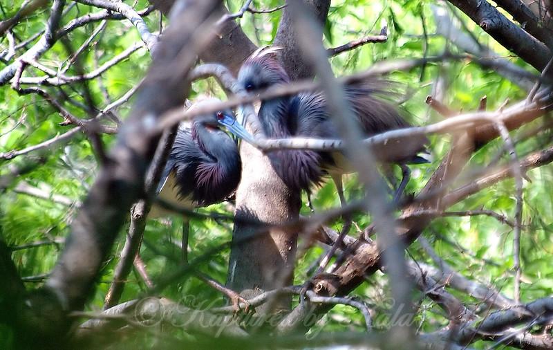 Tricolor Heron Courtship Part 2