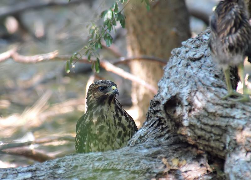 Hawk Lost Prey View 2