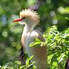 Sunlit Cattle Egret