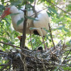 Happy Little Ibis Family